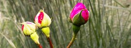 Deep red rose buds against background of tall ornamental grasses