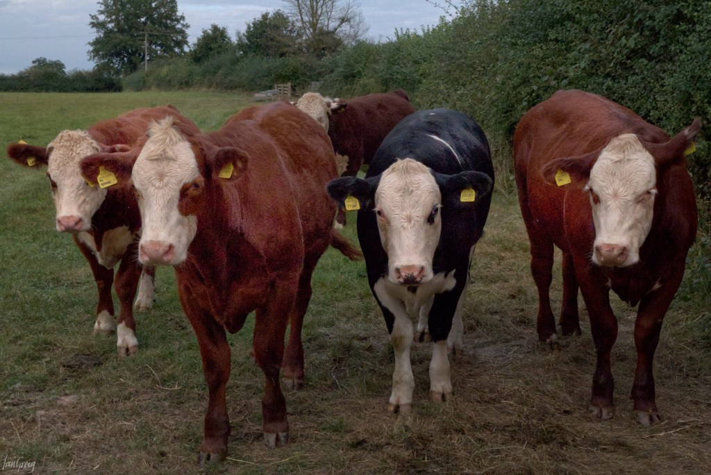 Five white-faced Hereford bullocks pay attention