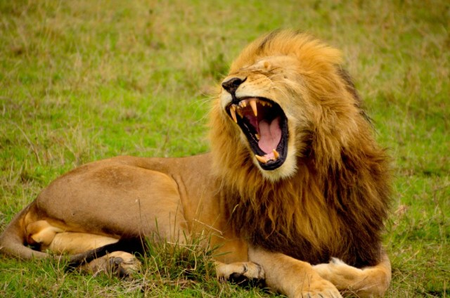 wrev1ljvQ6KlfyljCQG0_lion