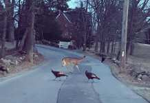 Topsfield deer turkeys crossing road
