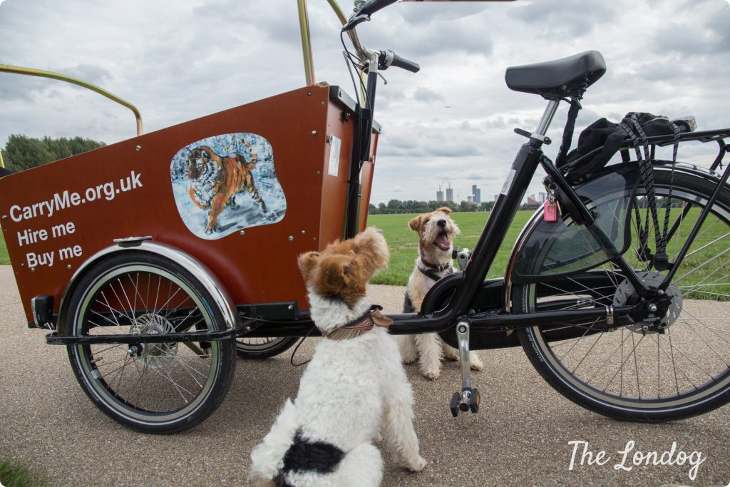 Dog-friendly cargo bike with two fox terriers in East London