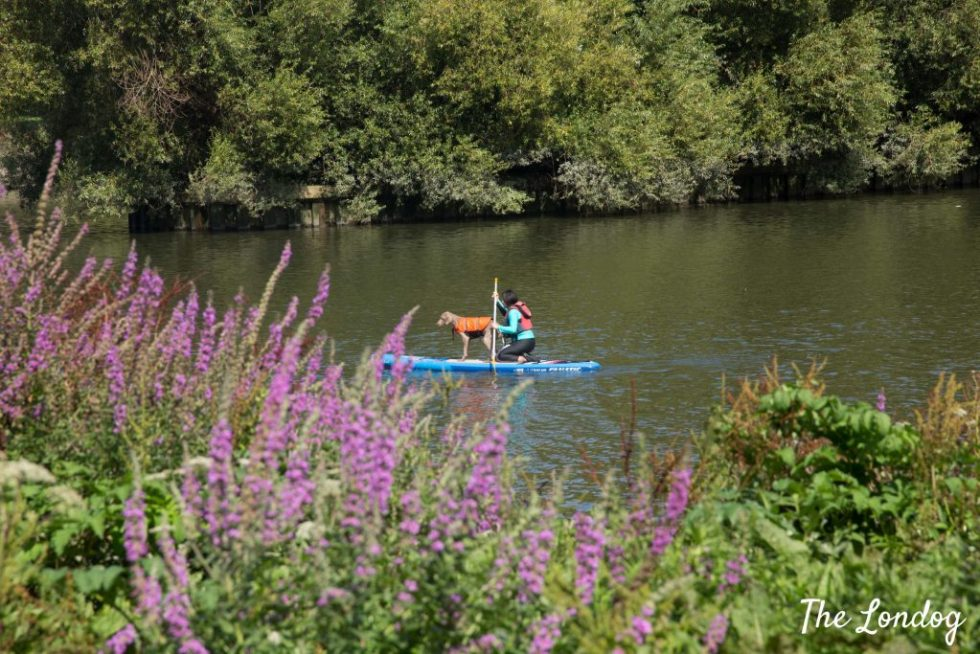 Weimaraner dog on SUP with owner and flowers
