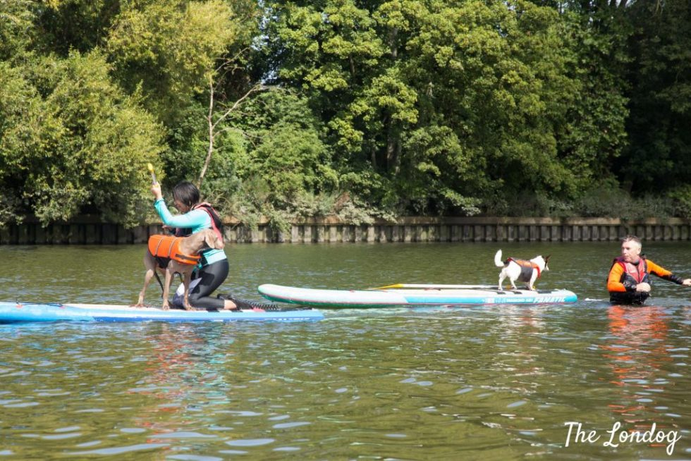 Dogs and their humans on SUPs on the Thames