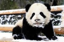 panda_wolong_01