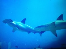 Two of my underwater friends, the hammerhead & Galapagos Shark