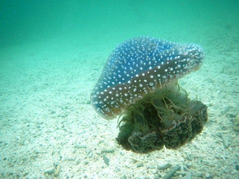 Terrifying Jelly Fish! (Which, as it happens, is completely harmless)