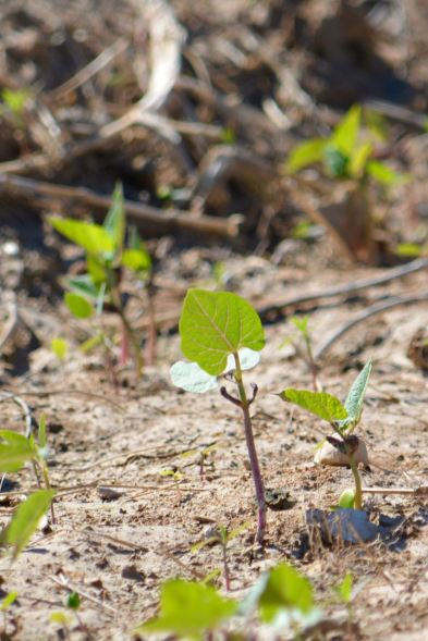 A tender bean shoot in a field near Thomazeau a month after heavy rains destroyed much of Haiti's cropland.