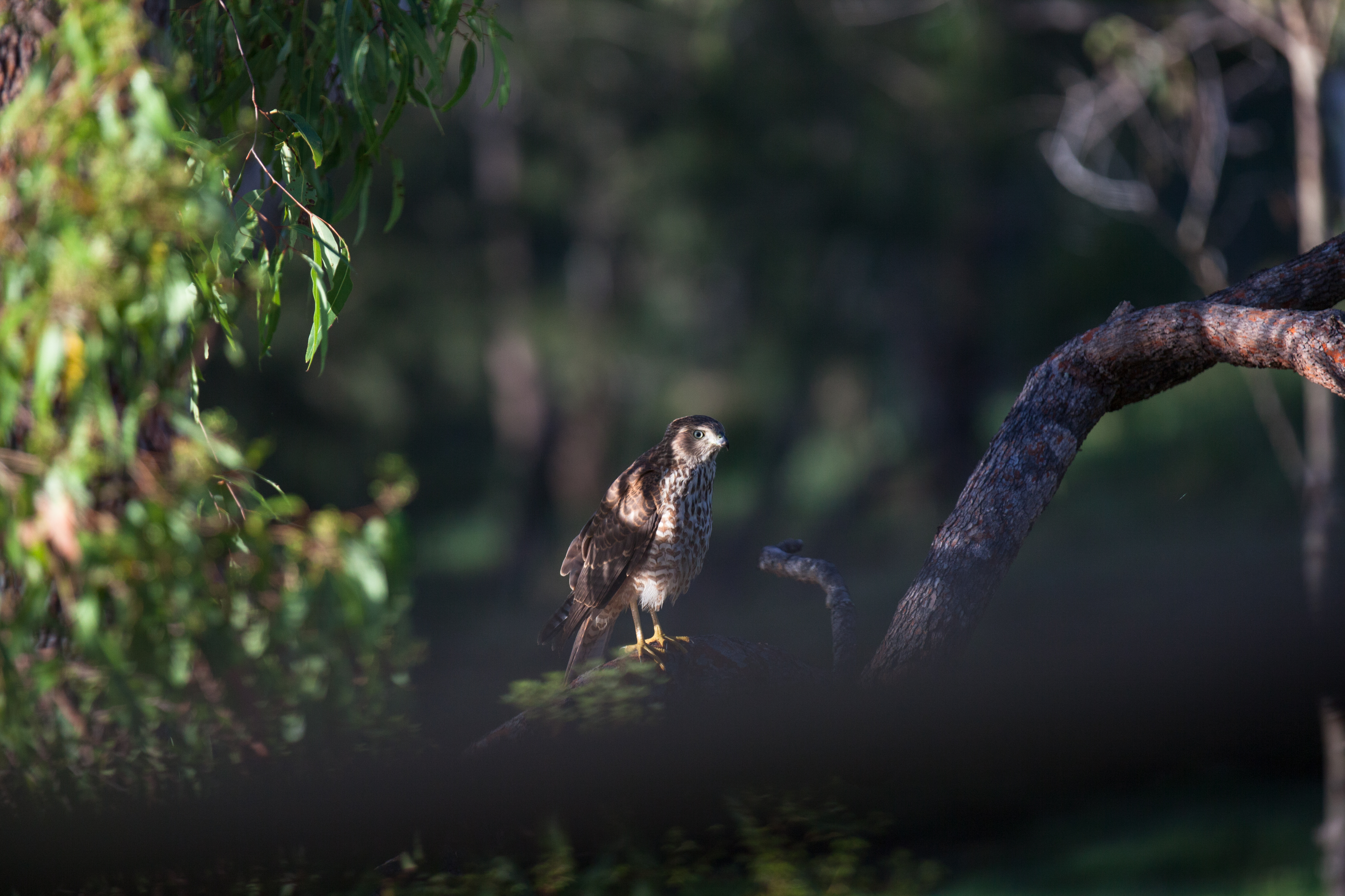 Brown Goshawk, birdwatching, The Long Weekend Retreat, Millstream, FNQ, Atherton Tablelands