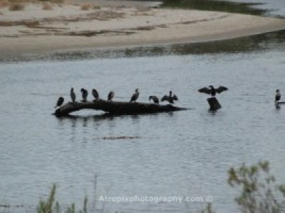Pelicans on a perch