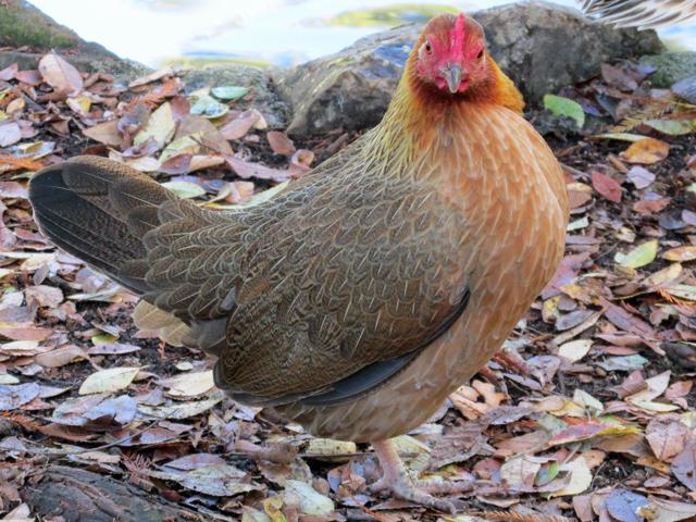hen-at-averill-park-130127