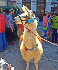 Rama the Llama (Photo by Nikki Kreuzer)