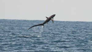 899444-thresher-shark