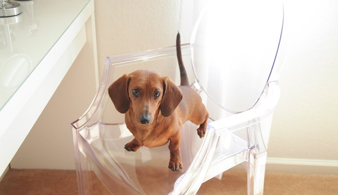 Mr. Big the Dachshund #doxie #weenie #thelovelygeek