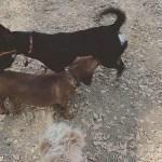 Mr. Big the Dachshund at the dog park