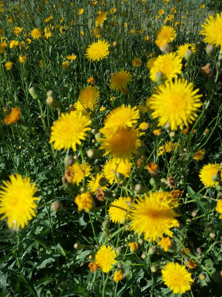 How to make dandelion balm for acne-prone skin | Luxuriously Thrifty