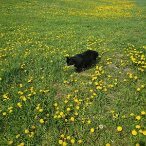How to make dandelion salve. Step 1: start with a bunch of dandelions. A furry helper is always a good idea | Luxuriously Thrifty