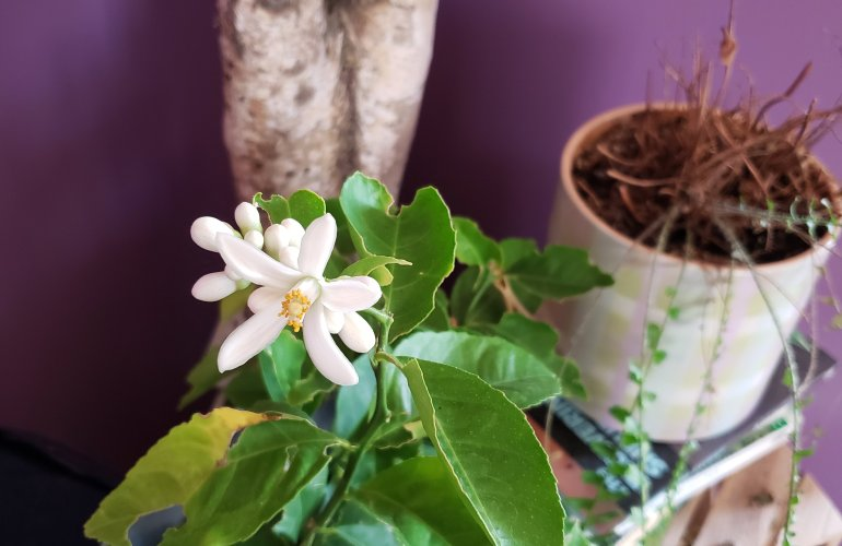 Blossoms on a lemon tree in September on the prairies? Yes, please! Tips on how to grow a citrus tree indoors | The LT Edit