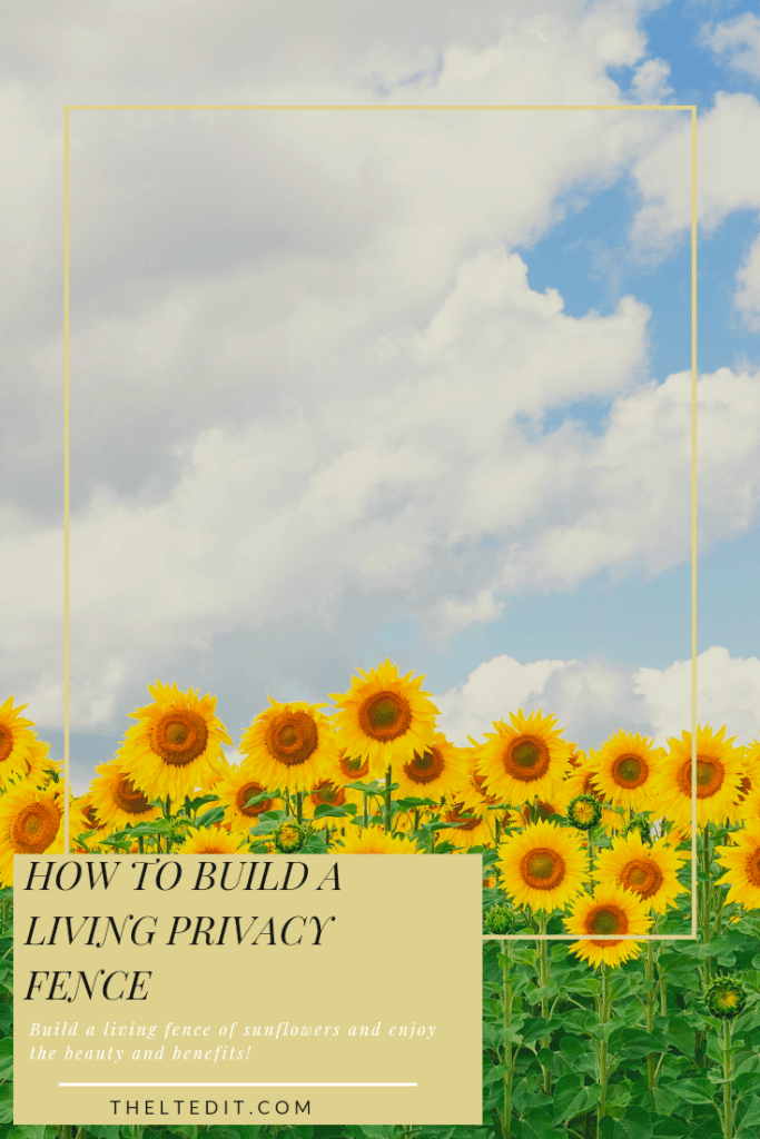 Plant a beautiful living privacy wall of sunflowers | The LT Edit