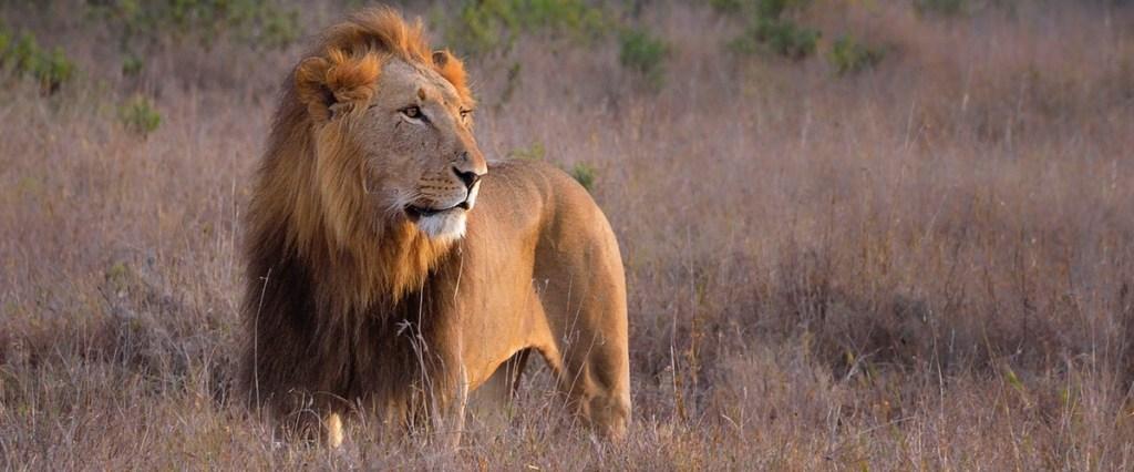 Lion2 1200x500