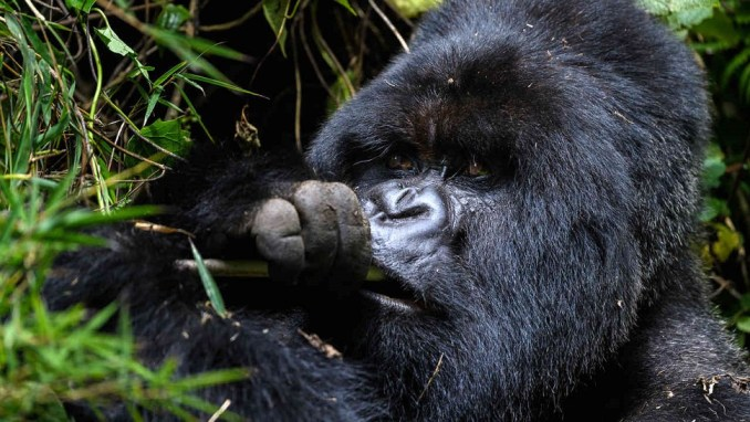 TRACKING MOUNTAIN GORILLAS IN AFRICA'S NEWEST TRAVEL HOTSPOT, RWANDA