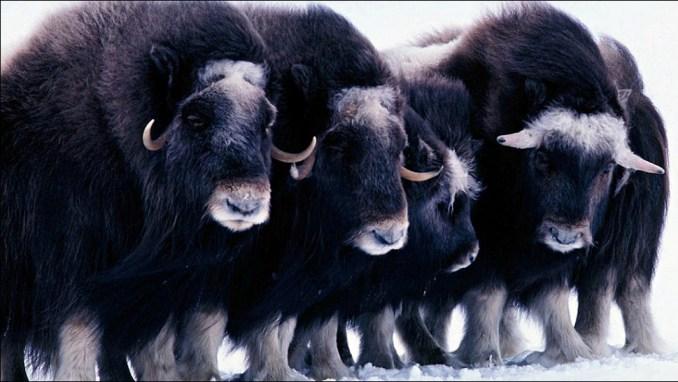 OBSERVE ARCTIC WILDLIFE