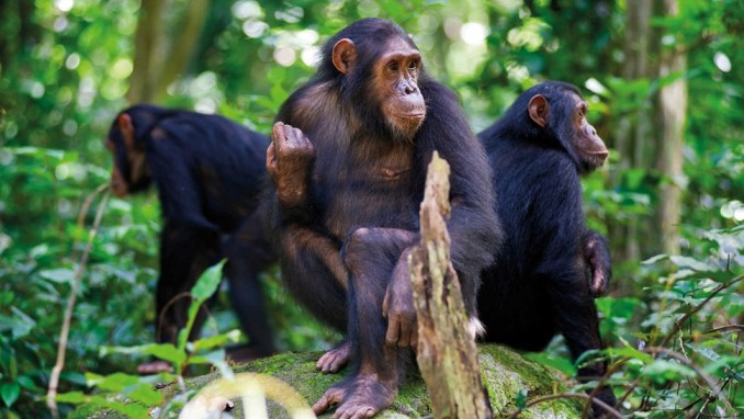 OBSERVE CHIMPANZEES IN THE WILD