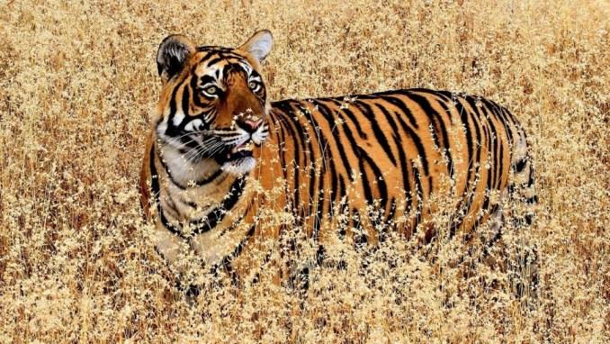 ROYAL BENGAL TIGERS AT RANTHAMBORE NATIONAL PARK