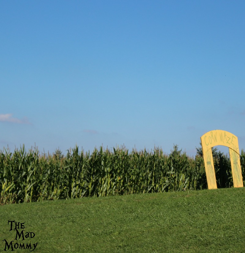 The corn maze at the Minnetonka Orchards.