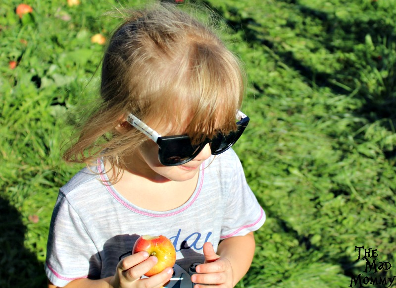Picking and eating apples at the Minnetonka Orchards.