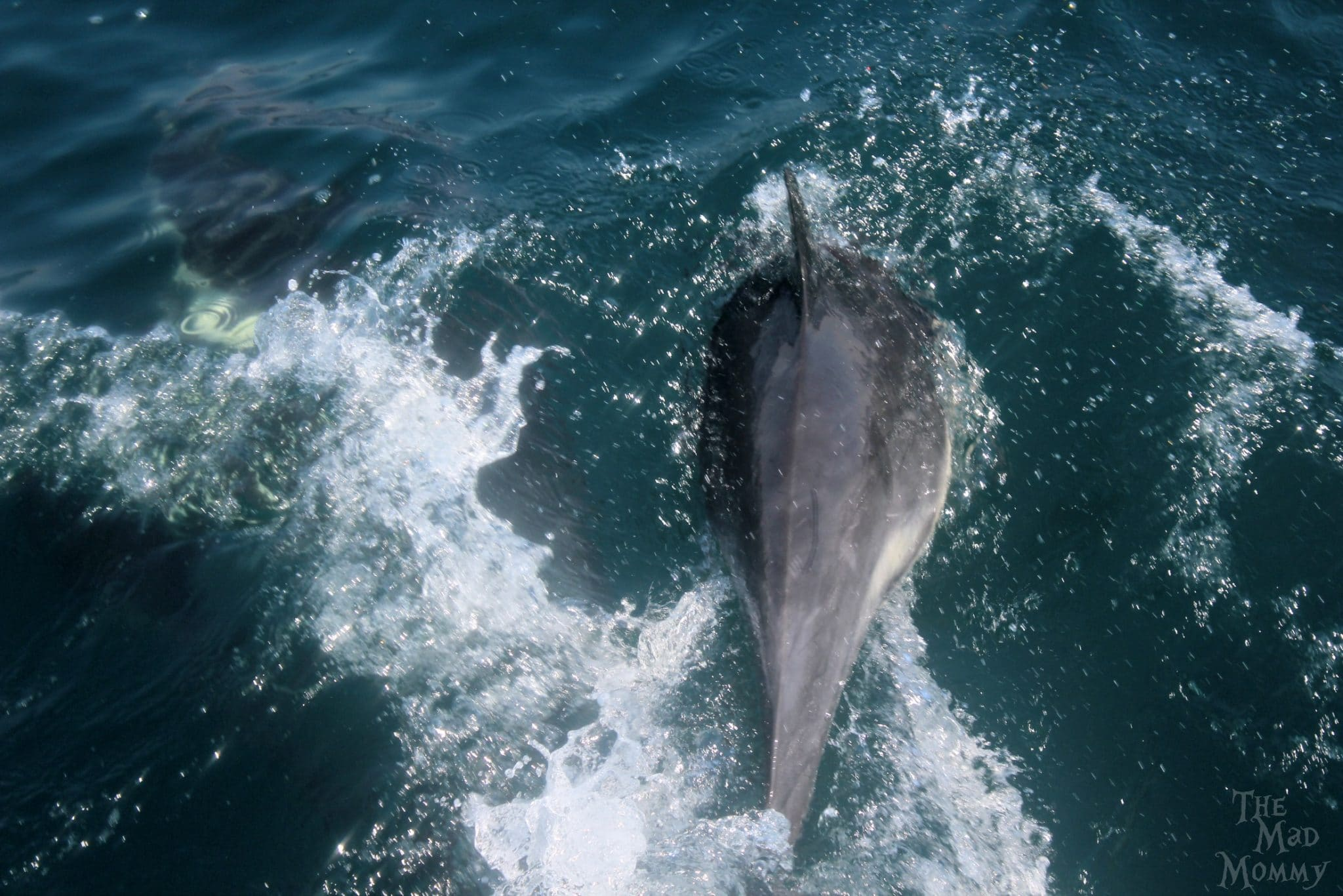 Common Dolphin diving and tail slapping during a whale watching tour.