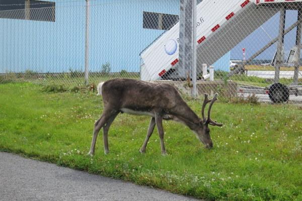 reindeer-kuusamo-airport