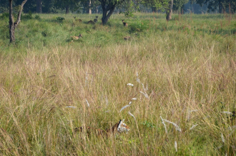 Wild Tiger in Madhya Pradesh India