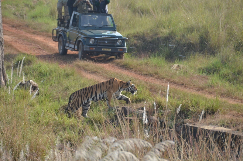 Tiger safari in Madhya Pradesh India