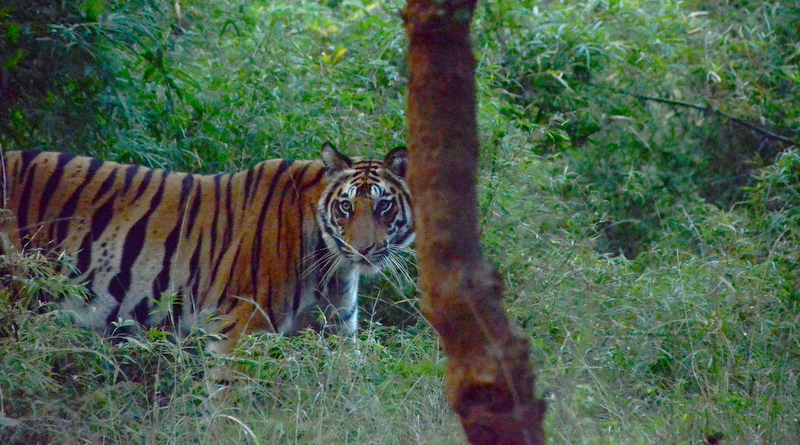 Tigers In the Wild: Tiger Safaris in India
