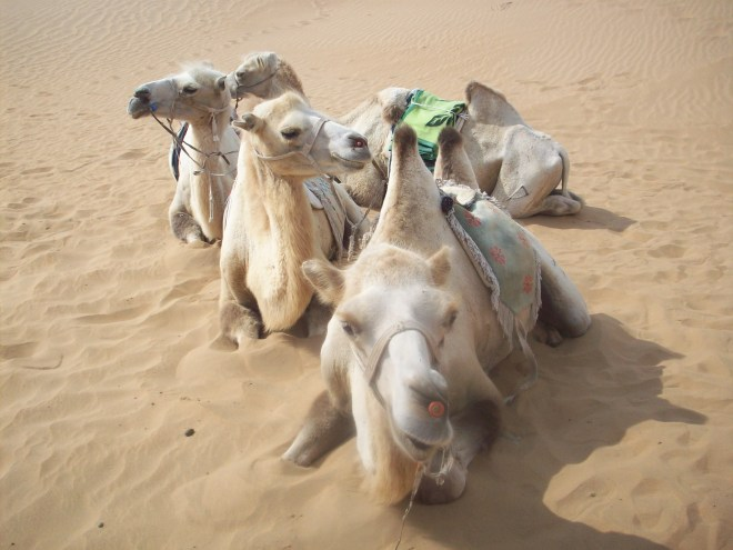 Gobi desert and riding the Bactian camels