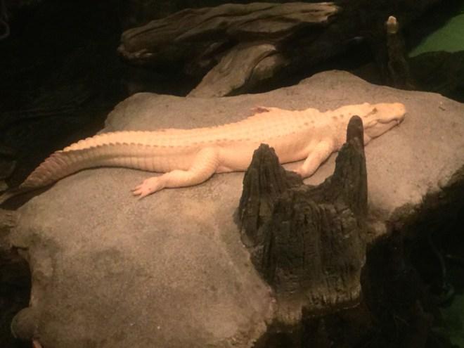Look! A white alligator