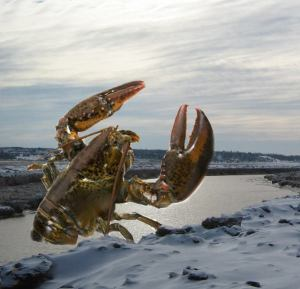 Another 25,000-pound lobster obstructing Petitcodiac River