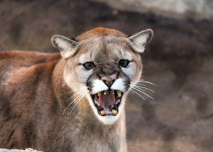 Even more cougars spotted in NB, this time near Saint John's R-Bar