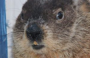Many starting to suspect that groundhogs know jack squat about weather