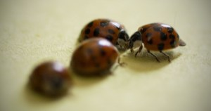 Report: a ton of those Asian lady beetles probably in your bedroom right now