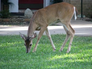 Municipalities call on province to gentrify urban deer population