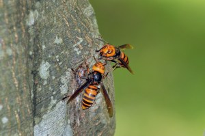 Lawyer for 'murder hornets' seeks to change clients' names to 'manslaughter hornets'