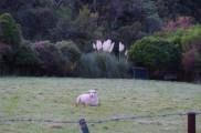 Sheep and Toi Toi