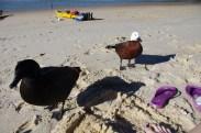 Typical ducks of NZ