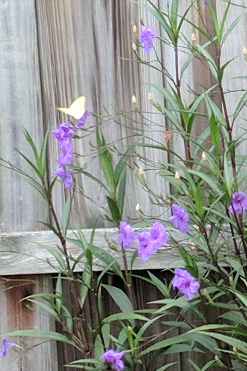 Seeing yellow butterflies can have many different meanings yellow butterflies buycottarizona