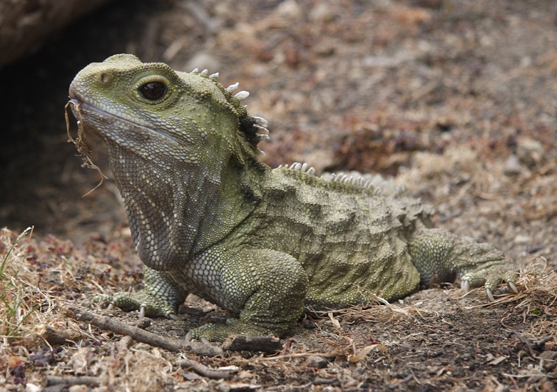 Henry the Tuatara in Invercargill