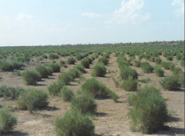 Rows of H. persicum