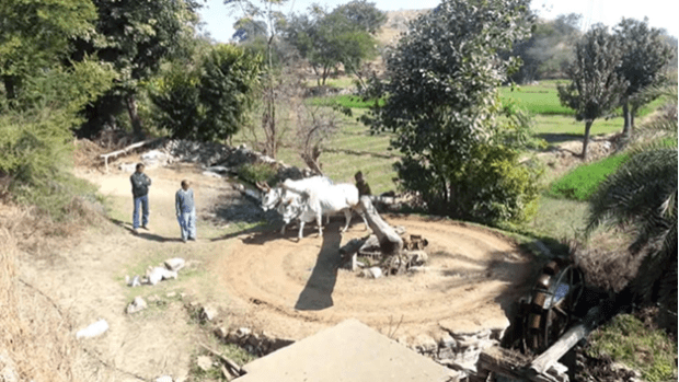 Water harvesting from a well, using cows