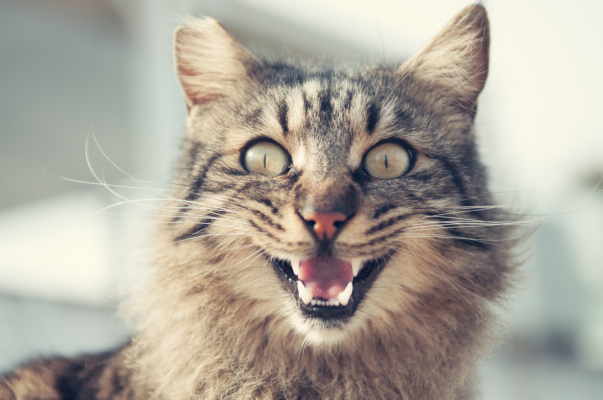 Let Me Clear My Throat: Q&A on Feline Asthma | the meowing vet