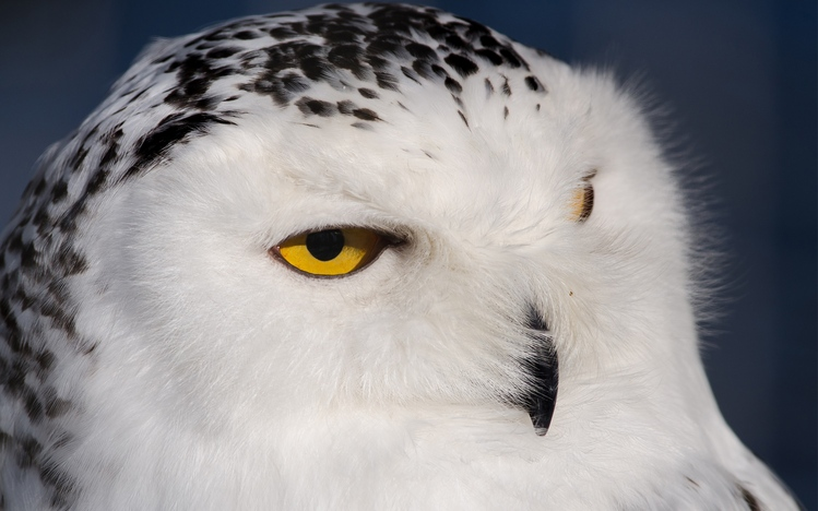 Cute Animals Wallpaper Pack Snowy Owl Windows 10 Theme Themepack Me